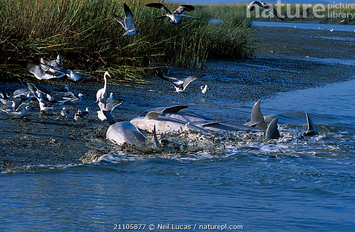 Bottlenosed dolphins catching fish by stranding {Tursiops truncatus} South Carolina USA, NORTH AMERICA,2002,CETACEANS,BEHAVIOUR,COASTS,INTERESTING,LIFE OF MAMMALS,MAMMALS,GROUPS,FEEDING,DOLPHINS, Mammals, Neil Lucas