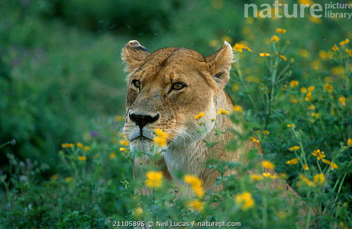 Lioness amongst flowers {Panthera leo} Tanzania, CARNIVORES,AFRICA,EAST AFRICA,PORTRAITS,FEMALES,YELLOW,LIFE OF MAMMALS,LIONS,BIG CATS, Neil Lucas
