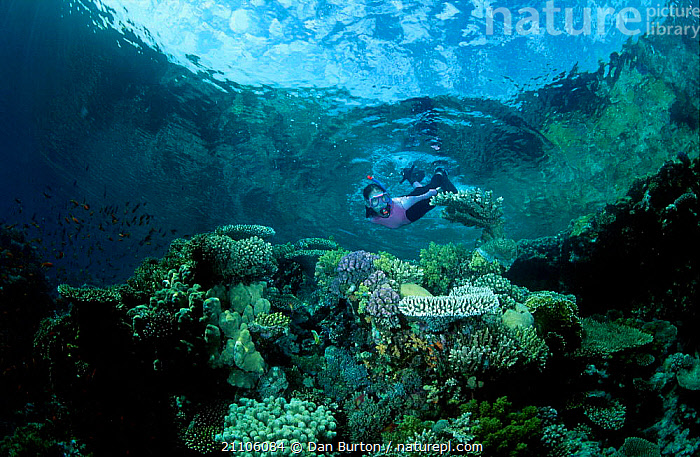 Snorkeler over coral reef Sharm el Sheik Red Sea Egypt, WATER PURSUITS,SWIMMING,CORAL REEFS,MARINE,PEOPLE,AFRICA,WATER,NORTH AFRICA,SPORT,TOURISM,ECOTOURISM,UNDERWATER,CORALS,ACTIVITY, Dan Burton