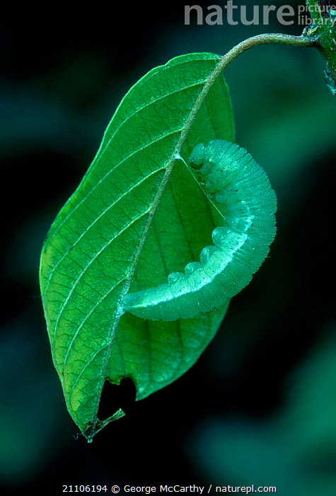 Brimstone butterfly pupating {Goneopterys rhamni} Surrey UK, ENGLAND,CAMOUFLAGE,BRITISH,CATERPILLARS,GONEOPTERYS,PUPA,CHRYSALIS,INVERTEBRATES,INSECTS,METAMORPHOSIS,GREEN,WILDLIFE,EUROPE,BUTTERFLIES,GROWTH,LEPIDOPTERA,Concepts, George McCarthy