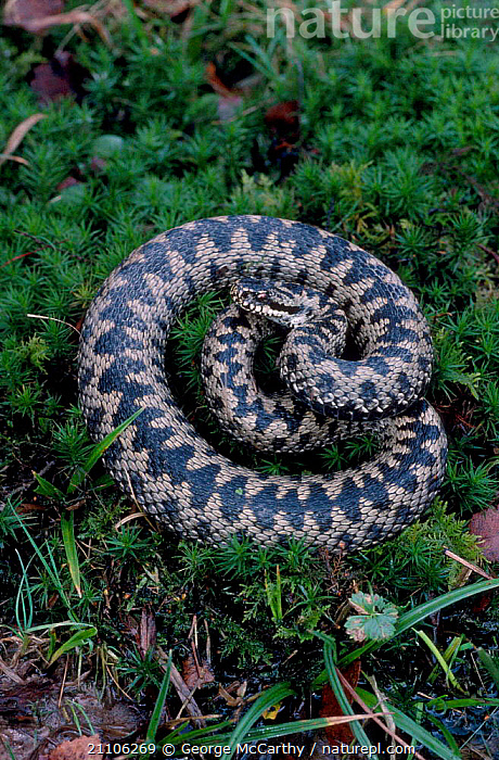 Male Adder recently emerged from hibernation {Vipera berus} Surrey UK, VIPERS,ENGLAND,SNAKES,COILED,REPTILES,BRITISH,WILDLIFE,SNAKES,EUROPE, ADDERS, George McCarthy