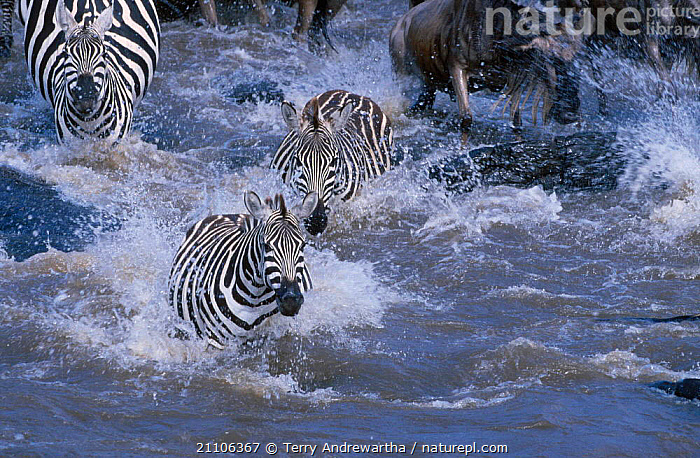 Common zebra crossing River Mara {Equus burchelli} with wildebeest MMNR Kenya Africa, EAST AFRICA,SWIMMING,GROUP,HERDS,MIXED SPECIES,NATIONAL,HEADS,STRIPES,ZEBRAS,RIVERS,MIGRATION,PERISSODACTYLA,WATER,GROUPS,ACTION,HERBIVORES,MAMMALS,RESERVE,MASAI,DANGEROUS,AFRICA,EQUINES, Terry Andrewartha