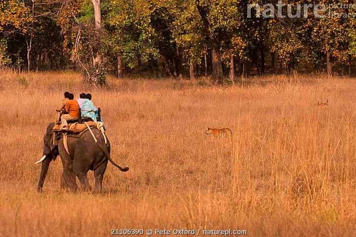 Tourists on elephant back tracking tiger {Panthera tigris} Bandhavgarh NP India, INDIAN SUBCONTINENT,PRADESH,CARNIVORES,ECOTOURISM,INDIAN,PARK,TOURISM,MADHYA,RESERVE,THREATENED,PEOPLE,NATIONAL,MAMMALS,GRASS,ASIA,PLANTS,TIGERS,BIG CATS, Pete Oxford