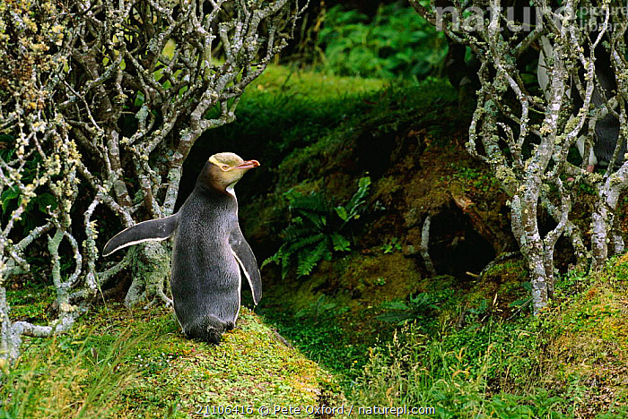 Yellow-eyed penguin in forest {Megadyptes antipodes} Enderby Island, Auckland Is, New Zealand, SEABIRDS,TREES,NESTING BEHAVIOUR,ISLANDS,NESTING,NEW ZEALAND,SEABIRD,BIRDS,HABITAT,PENGUINS,BIRD,FLIGHTLESS,Plants,Reproduction, Seabirds,Catalogue1, Pete Oxford