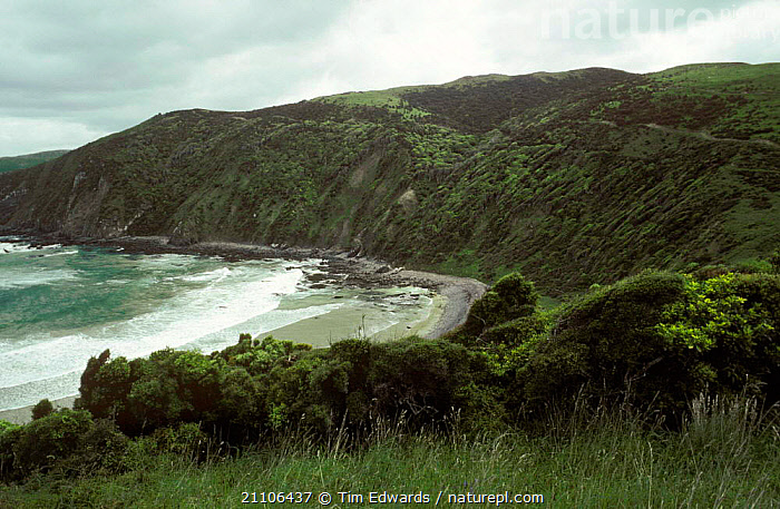 Classic Yellow-eyed penguin breeding habitat {Megadyptes antipodes} Otago Peninsula NZ, BIRD,PROTECTED,SOUTH,1991,COASTS,COAST,COASTAL WATERS,LANDSCAPES,PENGUINS,THREATENED,BEACHES,BIRDS,SEA,ISLAND,NEW ZEALAND,Seabirds, Seabirds, Tim Edwards