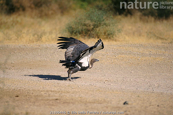 Indian white backed vulture taking off {Gyps bengalensis} Thar Desert, India, VULTURES,FLAPPING,INDIAN SUBCONTINENT,WINGS,BIRDS,FLYING,DESERTS,ASIA, Elio Della Ferrera
