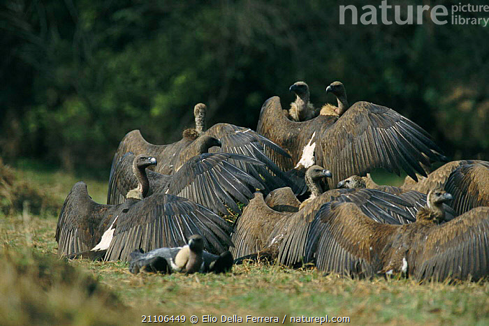 Indian white backed vultures sunning themselves {Gyps bengalensis} Thar Desert, India, GROUPS,WINGS,THERMOREGULATION,BIRD,GROUP,WING,BIRDS,INDIAN SUBCONTINENT,FEATHERS,ASIA, Elio Della Ferrera