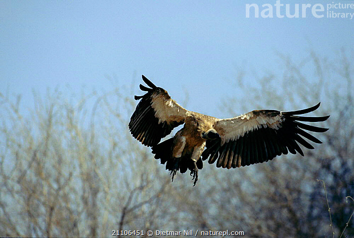 Indian white backed vulture in flight {Gyps bengalensis} Ruaha NP, Tanzania, East Africa, BIRDS,FLYING,RESERVE,WINGS,NATIONAL,EAST AFRICA,BIRD,PARK,FLY,VULTURES,AFRICA, Dietmar Nill