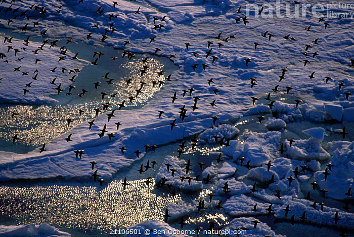 Crested auklet flock fly over pack ice {Aethia cristatella} Talan Is Okhutsk Sea E Russia, AUKLETS,FLOCKS,EAST,SEABIRDS,BIRDS,RUSSIA,GROUPS,ARCTIC,BEHAVIOUR,BLUE PLANET,DUSK,FLYING, Ben Osborne