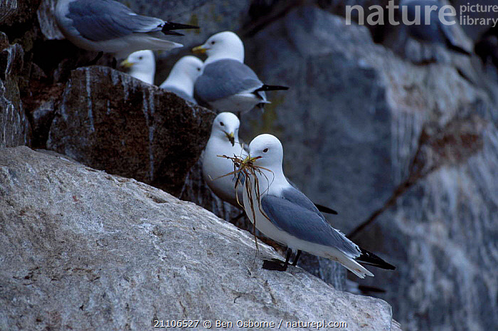 Kittiwake with nesting material {Rissa tridactyla} Talan Is Okhotsk Sea E Russia, RUSSIA,SEABIRDS,BIRDS,GULLS,BEHAVIOUR,CLIFFS,COASTS,NESTING BEHAVIOUR,BLUE PLANET,EAST,NESTS,GEOLOGY,REPRODUCTION, Ben Osborne