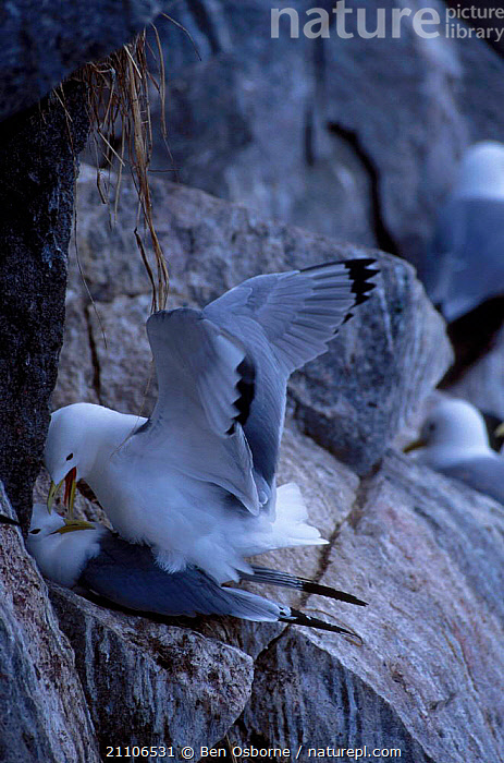 Kittiwakes mating at nest site {Rissa tridactyla} Talan Is Okhotsk Sea E Russia, BIRDS,COASTS,MATING BEHAVIOUR,TWO,RUSSIA,BLUE PLANET,GULLS,COUPLE,MALE FEMALE PAIR,PAIR,SEABIRDS,BEHAVIOUR,CLIFFS,REPRODUCTION,EAST,GEOLOGY, Ben Osborne