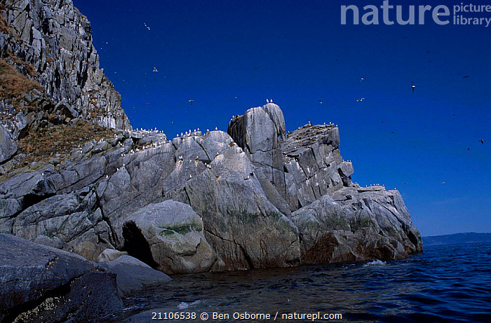 Kittiwake colony on cliffs {Rissa tridactyla} Talan Is Okhotsk Sea E Russia, RUSSIA,EAST,GULLS,ROCKS,COASTS,GROUPS,NESTS,FLOCKS,BLUE PLANET,KITTIWAKES,BIRDS,SEABIRDS, Ben Osborne