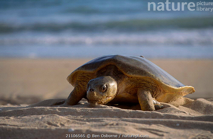 Flat backed turtle {Chelonia depressa} climbing up beach to lay eggs Crab Is QLD, TURTLES,AUSTRALIA,BEACHES,BEHAVIOUR,BLUE PLANET,CAPE,ENDANGERED,FEMALES,MARINE,PENINSULA,QUEENSLAND,REPRODUCTION,REPTILES,TROPICAL,TURTLES,WALKING,YORK,Chelonia, Turtles, Ben Osborne