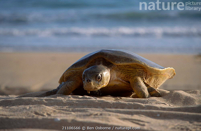 Flat backed turtle {Chelonia depressa} climbing up beach to lay eggs Crab Is QLD, TURTLES,AUSTRALIA,BEACHES,BEHAVIOUR,BLUE PLANET,CAPE,ENDANGERED,FEMALES,MARINE,PENINSULA,QUEENSLAND,REPRODUCTION,REPTILES,TROPICAL,TURTLES,YORK,Chelonia, Turtles, Ben Osborne