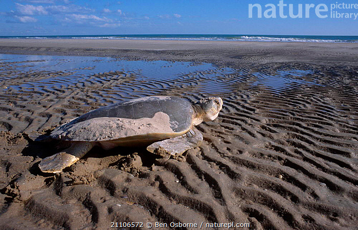 Flat backed turtle {Chelonia depressa} returns to sea Crab Is QLD Australia Cape York, TURTLES,BEACHES,BEHAVIOUR,BLUE PLANET,ENDANGERED,FEMALES,MARINE,PENINSULA,QUEENSLAND,REPRODUCTION,REPTILES,SAND,TROPICAL,TURTLES,Chelonia, Turtles, Ben Osborne