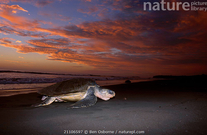 Olive ridley turtle emerging from sea at dusk. Costa Rica {Lepidochelys olivacea}, LAY,TURTLES,BEACHES,SUNSET,CENTRAL AMERICA,PACIFIC,BEHAVIOUR,COSTA RICA,OSTIANAL,REPTILES,COASTS,ENDANGERED,REPRODUCTION,BLUE PLANET,DUSK,CHELONIA, TURTLES, Ben Osborne