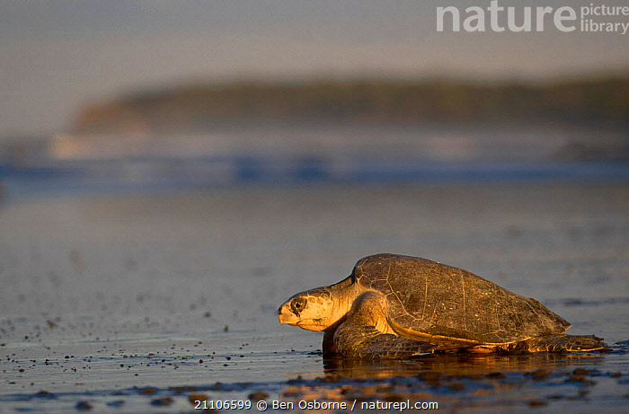 Olive ridley turtle returns to sea at dawn. Costa Rica {Lepidochelys olivacea}, LAY,PACIFIC,REPTILES,SUNRISE,TURTLES,BLUE PLANET,COSTA RICA,BEHAVIOUR,CENTRAL AMERICA,OSTIANAL,BEACHES,DAWN,ENDANGERED,REPRODUCTION,CHELONIA, TURTLES, Ben Osborne
