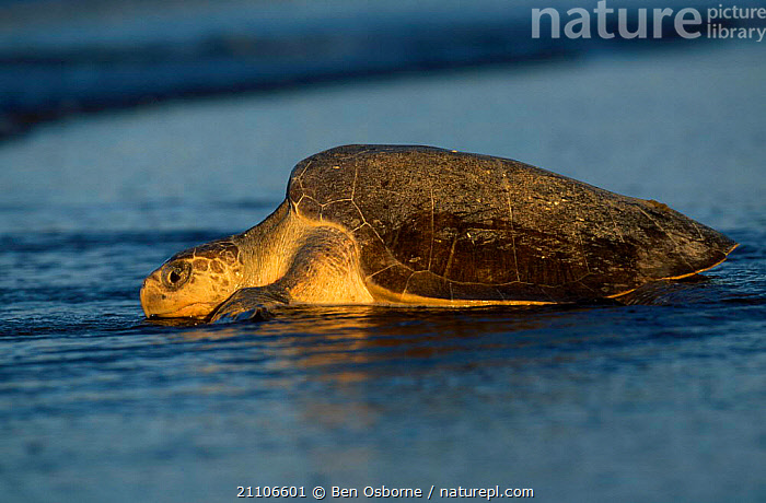 Olive ridley turtle returns to sea at dawn. Costa Rica {Lepidochelys olivacea}, REPTILES,TURTLES,ENDANGERED,LAY,REPTILES,BEACHES,COAST,EGGS,CENTRAL AMERICA,COSTA RICA,CENTRAL AMERICA,SUNRISE,LAYING,BEHAVIOUR,BEACHES,DAWN,OSTIANAL,REPRODUCTION,BLUE PLANET,PACIFIC,RETURNING,CHELONIA, TURTLES, Ben Osborne