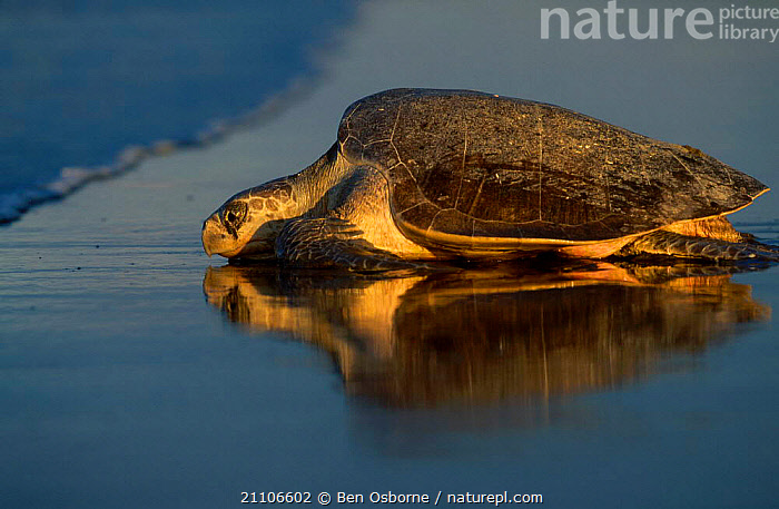 Olive ridley turtle returns to sea at dawn. Costa Rica {Lepidochelys olivacea}, BLUE PLANET,CENTRAL AMERICA,DAWN,REPTILES,EGGS,BEACHES,BEACHES,REPTILES,REPRODUCTION,ENDANGERED,RETURNING,SUNRISE,LAYING,TURTLES,COSTA RICA,PACIFIC,OSTIANAL,COAST,BEHAVIOUR,CENTRAL AMERICA,LAY,CHELONIA, TURTLES, Ben Osborne