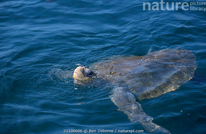 Olive ridley turtle swims in sea with head out. Costa Rica {Lepidochelys olivacea}, CENTRAL AMERICA,OSTIANAL,BLUE PLANET,CENTRAL AMERICA,SURFACE,COAST,ENDANGERED,BEHAVIOUR,REPTILES,REPTILES,PACIFIC,SWIMMING,TURTLES,CHELONIA, TURTLES, Ben Osborne