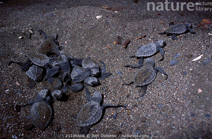 Olive ridley turtle hatchlings head for the sea. Costa Rica {Lepidochelys olivacea}, ACTION,NIGHT,CENTRAL AMERICA,GROUP,NESTS,REPTILES,TURTLES,ENDANGERED,NEST,COAST,BABIES,PACIFIC,REPTILES,SEA,CENTRAL AMERICA,GROUPS,OSTIANAL,BEHAVIOUR,BLUE PLANET,CHELONIA, TURTLES, Ben Osborne