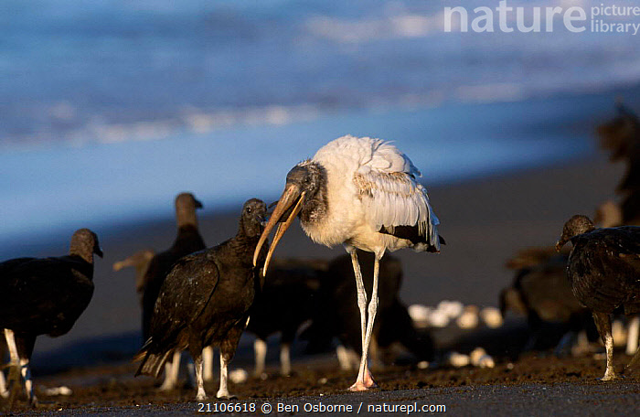 Olive ridley turtle hatchling predated by stork Black vultures. Costa Rica  ,  BABIES,CENTRAL AMERICA,ENDANGERED,FEEDING,PREDATION,SEA,BIRDS,COSTA RICA,REPTILES,BLUE PLANET,PACIFIC,VULTURES,OSTIANAL,TURTLES,MIXED SPECIES,BEHAVIOUR,CHELONIA, TURTLES  ,  Ben Osborne