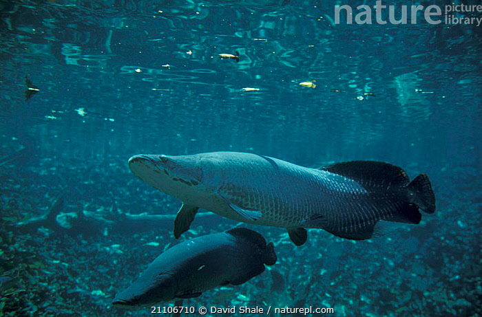 Giant arapaima fish / Pirarucu {Arapaima gigas} in flooded forest, Santarem, Brazil  ,  UNDERWATER,TROPICAL RAINFOREST,LARGE,FLOODED FOREST,SOUTH AMERICA,FRESHWATER,TROPICAL,SIZE,TWO,SOUTH-AMERICA  ,  David Shale