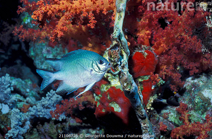Whitebellied damselfish tending eggs {Amblyglyphidodon leucogaster} Red Sea  ,  REPRODUCTION,PARENTAL,CORAL REEF,FISH,BEHAVIOUR,CORAL REEFS,Marine  ,  Georgette Douwma
