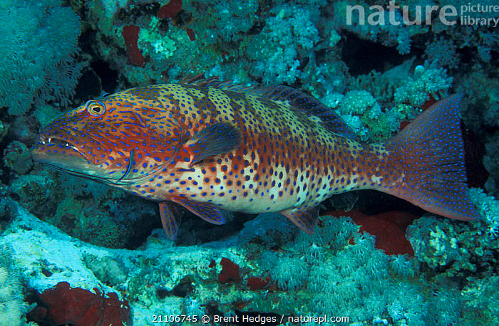 Royal coral /Spotted grouper {Plectropomus p marisurbri} Papua New Guinea  ,  PACIFIC OCEAN,SPOTTED,UNDERWATER,MARISURBRI,PLECTROPOMUS,PAPUA NEW GUINEA,TROPICAL,DOTTYBACKS,MARINE  ,  Brent Hedges