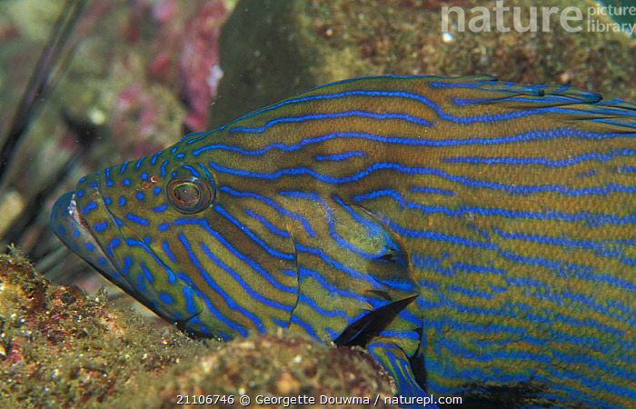 Bluelined hind / Grouper {Cephalopholis formosa} Andaman sea, Thailand  ,  UNDERWATER,FISH,INDIAN,MARINE,INDIAN OCEAN,GROUPERS,TROPICAL,ONE  ,  Georgette Douwma
