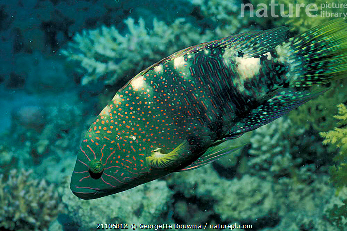 Abudjubbe's wrasse fish {Cheilinus abudjubbe} Egypt, Red Sea  ,  PATTERNS,PORTRAITS,SPLENDOUR,UNDERWATER,PROFILE,RED SEA,MARINE,AQUATIC,OSTEICHTHYES  ,  Georgette Douwma