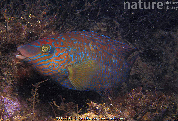 Rock Cook wrasse profile {Centrolabrus exoletus} Devon, England  ,  AQUATIC,TEMPERATE,UK,UNDERWATER,COASTS,MARINE,EUROPEAN,FISH,EUROPE,ATLANTIC,SEA,United Kingdom,British  ,  Dan Burton