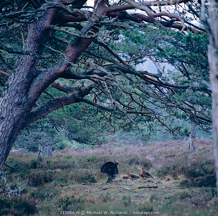 Capercaillie male displaying to hens {Tetrao urogallus} Scotland, UK  ,  BIRD,REPRODUCTION,DISPLAY,CONIFEROUS,FEMALES,BEHAVIOUR,MALE FEMALE PAIR,MALES,MATING BEHAVIOUR,ABERDEENSHIRE,MOORLAND,HABITAT,WOODLAND,EUROPE,GROUP,GROUPS,GROUSE,VOCALISATION,BIRDS,Communication  ,  Michael W. Richards