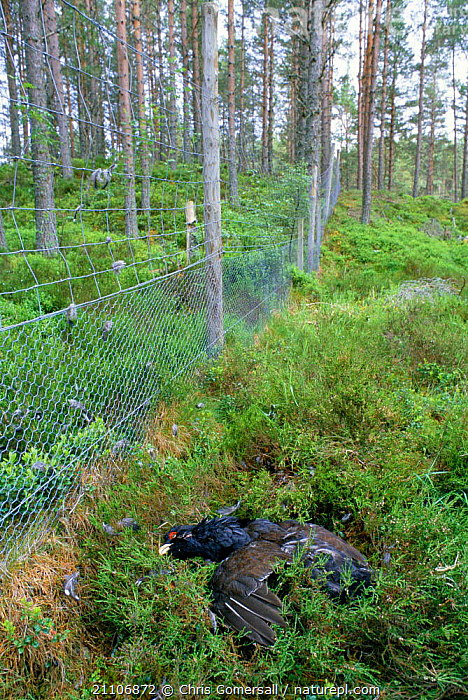 Capercaillie killed after colliding with deer fence {Tetrao urogallus} Scotland, UK  ,  BIRDS,FENCES,EUROPE,GROUSE,WOODLAND,BIRD,DEATH,WOODLANDS  ,  Chris Gomersall
