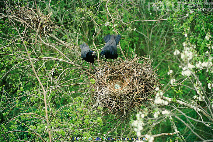 Rook pair at nest with eggs {Corvus frugilegus} Warwickshire, UK  ,  EUROPE,NESTS,CROWS,FEMALE,MALE FEMALE PAIR,BIRD,BIRDS,COUPLE,MALE,FOUR,PASSERINE,PASSERINES,TREE,TREES,MALES,FEMALES,ENGLAND,Plants,Corvids  ,  Mike Wilkes