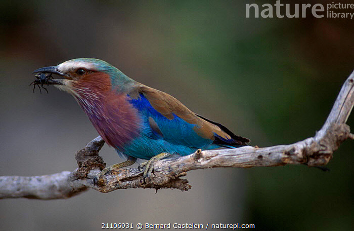 Lilac-breasted roller with insect prey {Coracias caudata} Serengeti NP Tanzania  ,  BIRDS,EAST AFRICA,INSECTS,AFRICA,COLOURFUL,PARK,PLUMAGE,ROLLERS,RESERVE,FOOD,NATIONAL,INVERTEBRATES,,Serengeti National Park, UNESCO World Heritage Site,  ,  Bernard Castelein