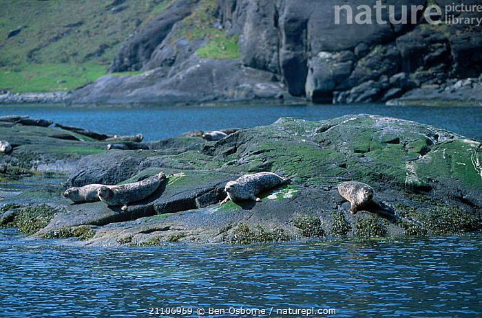 Group of Common seal on rock {Phoca vitulina} Skye Scotland UK  ,  SEALS,GROUPS,EUROPE,MAMMALS,PINNIPEDS,COASTS , Inner Hebrides,CARNIVORES  ,  Ben Osborne