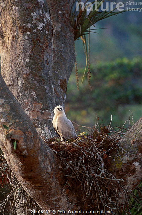 Crested eagle juvenile on nest {Morphnus guianensis} Puerto Maldonado Amazonia Peru  ,  BIRDS OF PREY,TROPICAL RAINFOREST,BIRDS OF PREY,NESTS,SOUTH AMERICA,BIRDS,EAGLES,RAPTOR  ,  Pete Oxford