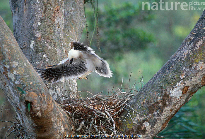 Crested eagle juvenile practice flight on nest {Morphnus guianensis} Peru Puerto  ,  SOUTH AMERICA,MALDONADO,EAGLES,BEHAVIOUR,NESTS,BIRDS OF PREY,TROPICAL RAINFOREST,STRETCHING,WINGS,AMAZONIA,BIRDS,LEARNING,RAPTOR  ,  Pete Oxford