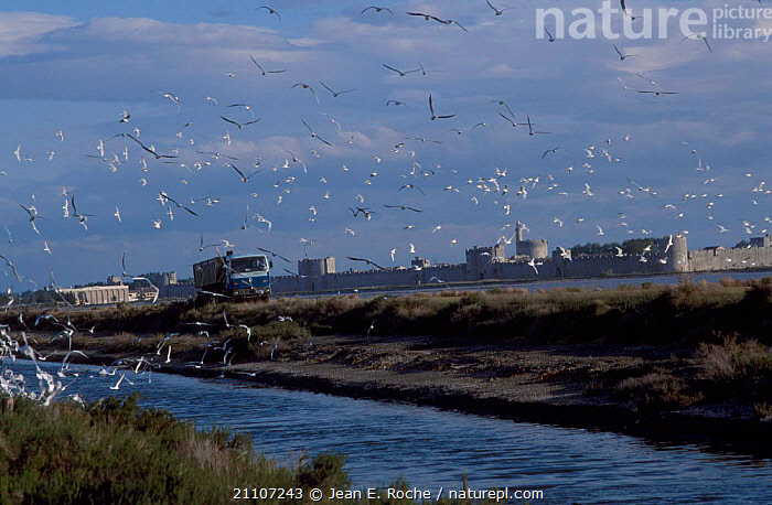 Lorry disturbs breeding seagull colony Aigues Mortes Camargue France  ,  BIRDS,MARSHES,FLIGHT,LANDSCAPES,GULLS,FLYING,CITIES,SEAGULLS,FLOCKS,SEABIRDS,VEHICLES,SALTMARSHES,WETLANDS,Europe  ,  Jean E. Roche