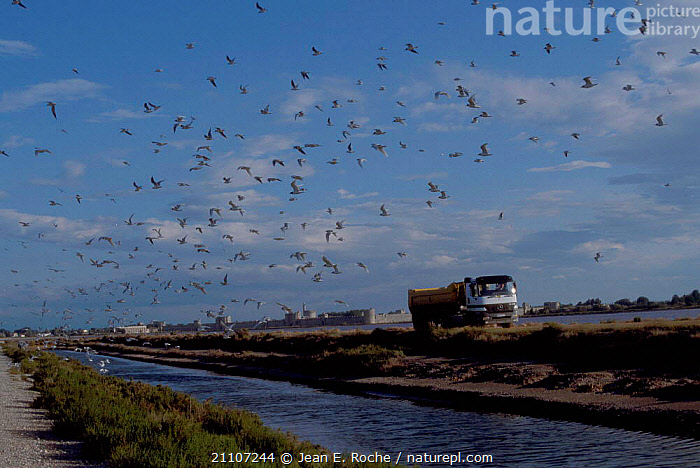 Lorry disturbs breeding seagull colony Aigues Mortes Camargue France  ,  BIRDS,LANDSCAPES,SEABIRDS,SEAGULLS,GULLS,FLYING,VEHICLES,SALTMARSHES,MARSHES,CITIES,FLOCKS,WETLANDS,Europe  ,  Jean E. Roche
