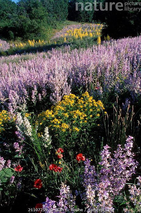 {Salvia sclarea} flowers used in perfume industry. Lure mountain Provence France  ,  PLANTS,AGRICULTURE,INDUSTRY,SUMMER,HERBS,EUROPE,CROPS,HORTICULTURE,SCLAREA  ,  Jean E. Roche