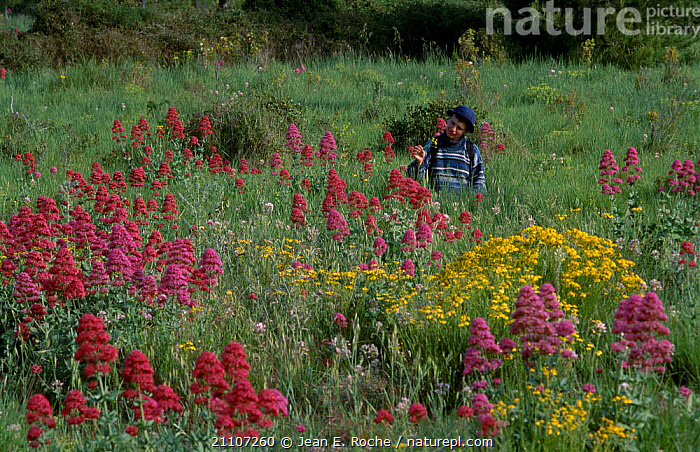 Wild {Centranthus angustifolia} in flower Roussillon France  ,  EUROPE,PEOPLE,PLANTS,FLOWERS,WILDFLOWERS,ANGUSTIFOLIA,MEADOWLAND,GRASSLAND  ,  Jean E. Roche