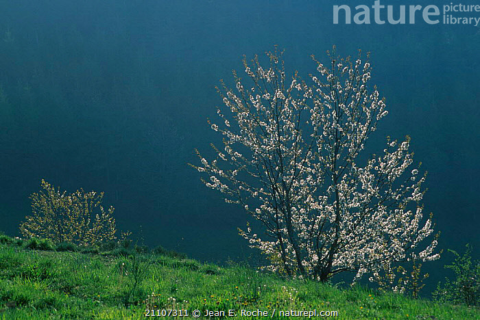 Cherry tree {Prunus sp} flowering Auvergne France  ,  STORMS,LANDSCAPES,PLANTS,PRUNUS,FLOWERS,RAIN,TREES,CLOUDS,WEATHER,Europe  ,  Jean E. Roche