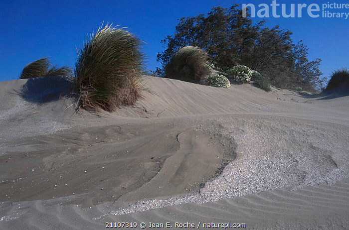 Eroded sand dunes with {Ammophila arenaria} Camargue France  ,  LANDSCAPES,SAND DUNES,WIND,AMMOPHILA,EROSION,ARENARIA,STABILISATION,COASTS,GRASS,WEATHER,DESERTS,PLANTS,Europe  ,  Jean E. Roche