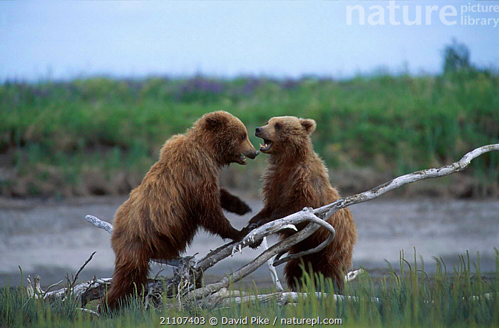 Two juvenile Brown bears playfighting {Ursus arctos} Silver Salmon Creek USA  ,  BEHAVIOUR,MOCK,LEARNING,PLAY,CARNIVORES,INTERACTION,YOUNG,STREAMS,MAMMALS,CUBS,FIGHTING,NORTH AMERICA,RIVERS,PAIR,AGGRESSION,COMMUNICATION,Concepts  ,  David Pike