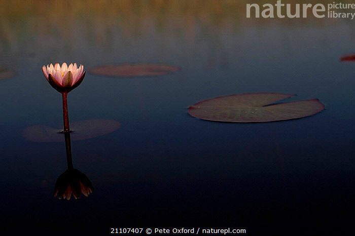 Single water lily flower {Nymphaea nouchali caerulea} Okavango Delta Botswana  ,  ABSTRACTS,FLOWERS,LEAVES,PEACEFUL,SOUTH,SERENE,CALM,SURFACE,DICOTYLEDONS,SOUTHERN AFRICA,STILL,CAERULEA,AFRICA,LAKES,AQUATIC,PLANTS,CONCEPTS  ,  Pete Oxford