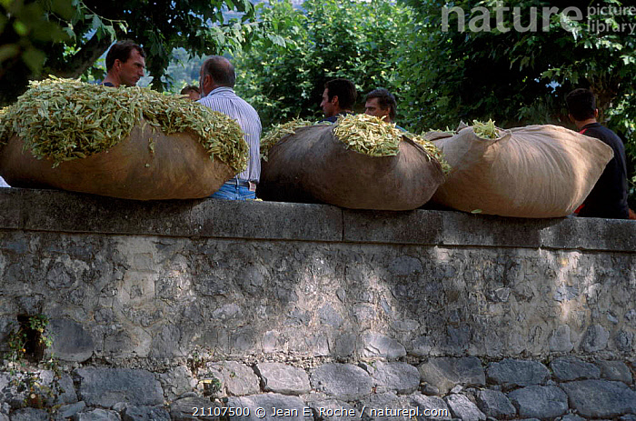 Lime flowers being sold at market Buis les Baronnies Provence France  ,  TRADE,TRADITIONAL,PEOPLE,CROPS,LANDSCAPES,Europe  ,  Jean E. Roche