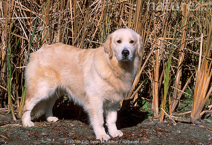Golden retriever {Canis familiaris} USA  ,  MAMMALS,PETS,BAY,CARNIVORES,DOGS,CANIDS  ,  Lynn M Stone