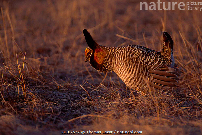 Prairie chicken male displaying {Tympanuchus cupido} Wisconsin USA  ,  BIRDS,MATING BEHAVIOUR,NORTH AMERICA,DISPLAY,MALES,GROUSE,VOCALISATION,BEHAVIOUR,REPRODUCTION,COMMUNICATION,Grassland  ,  Thomas Lazar